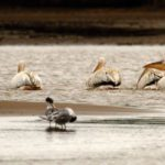 Pelicans and Terns at the mouth, a natural balance returning. Source: iSimangaliso Wetland Park Authority